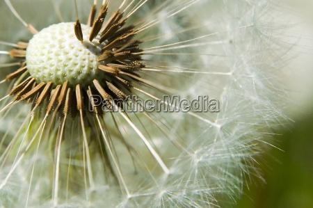 dandelion - 334810
