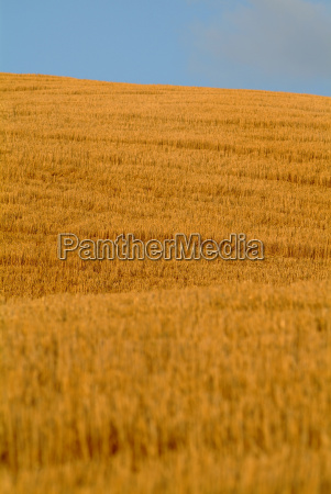 wheat field on hill