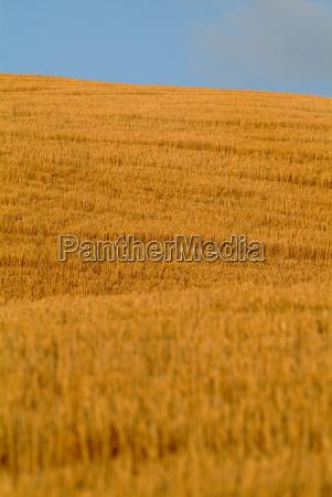 wheat field on hill