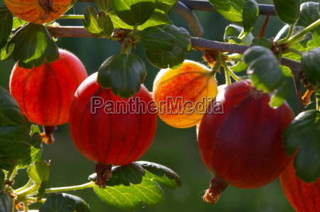 red, gooseberries - 338532
