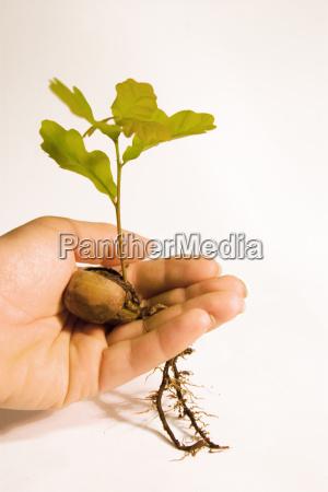oak, seedling - 348032