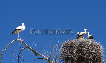 family white stork