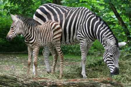 grant zebras