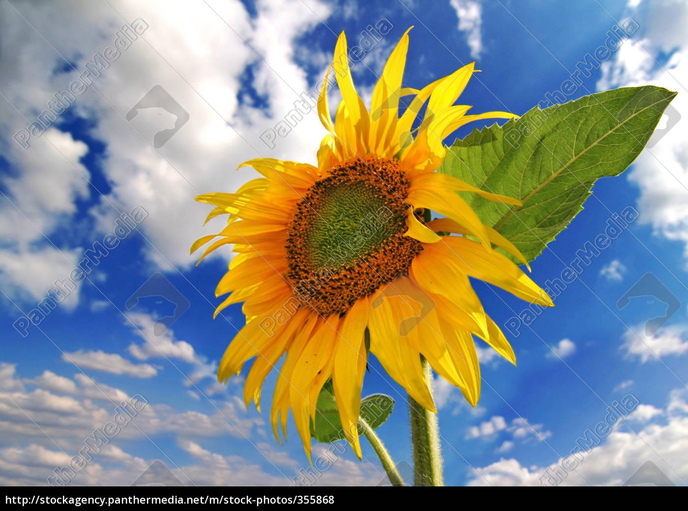 sunflower - 355868