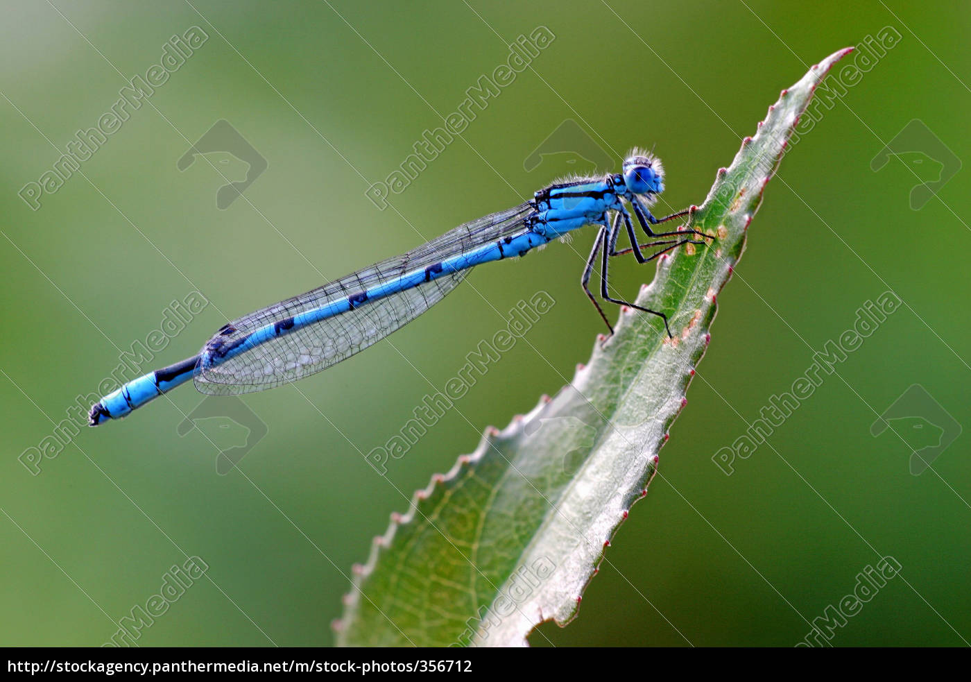 azure, damselfly, 2 - 356712