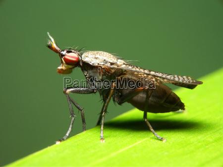 mottled worm fly