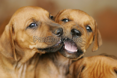 puppies - 357184
