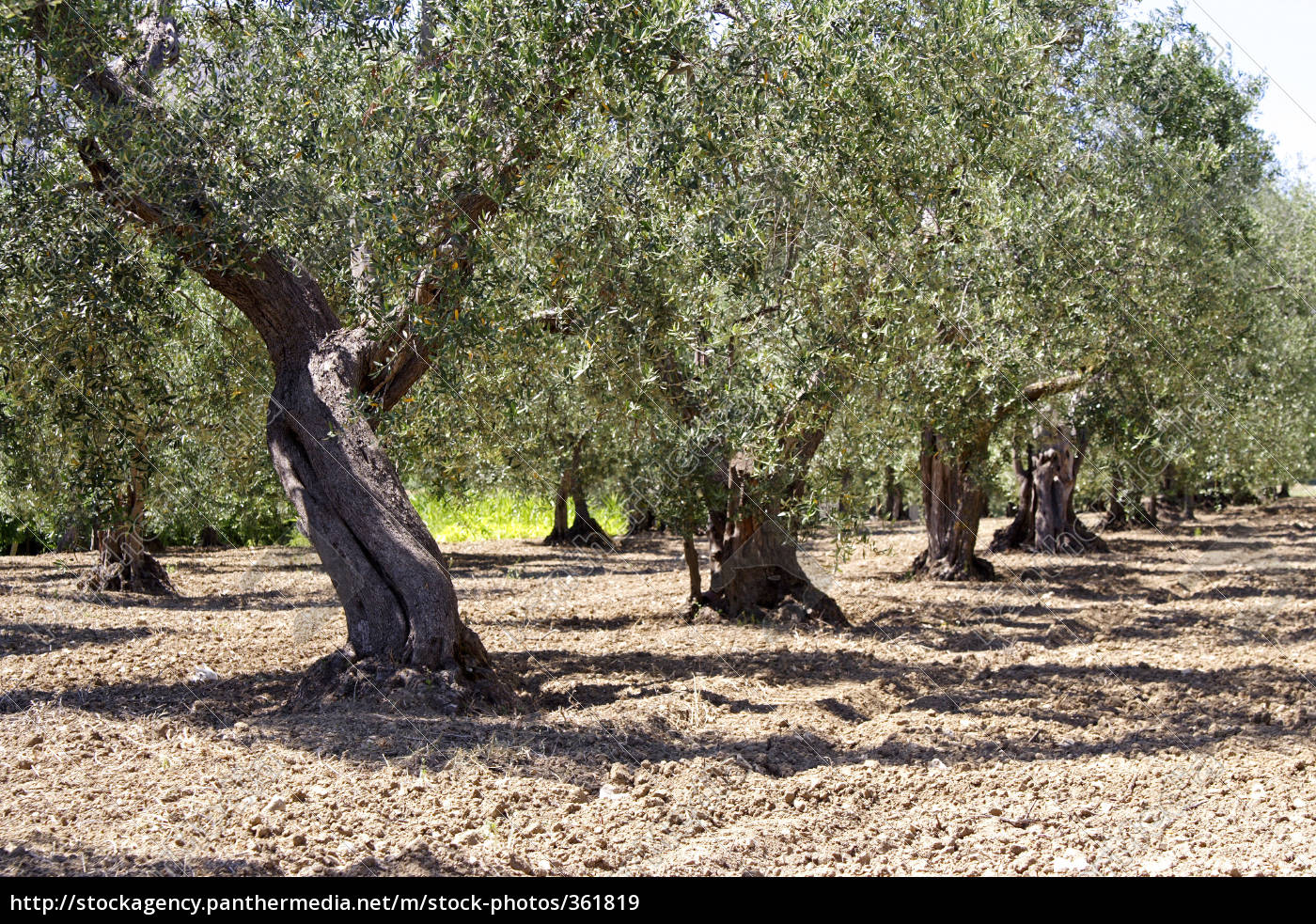olive, tree, plantation - 361819