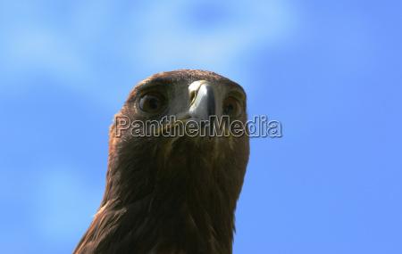 bird birds eyes raptor look glancing