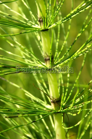 crop, horsetail - 365983