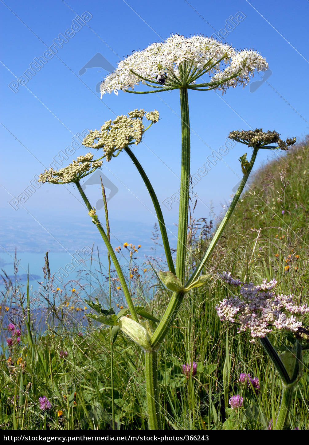 hogweed, with, vision - 366243