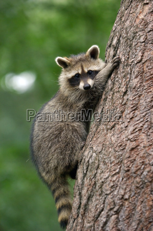 racoon - 366201