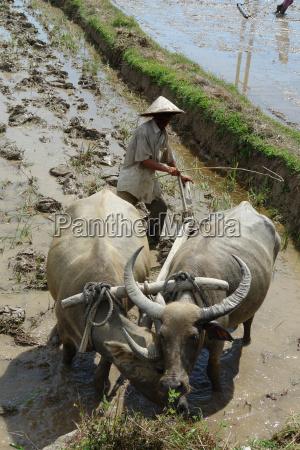 water, buffalo, plow - 368729