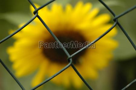 locked sunflower