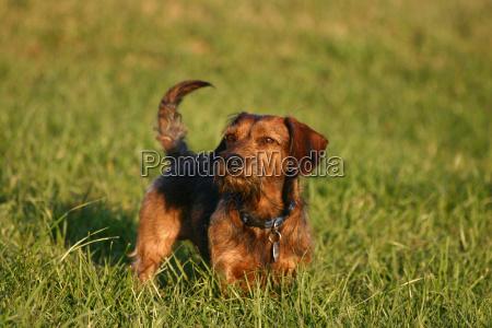 dachshund, dog - 379284