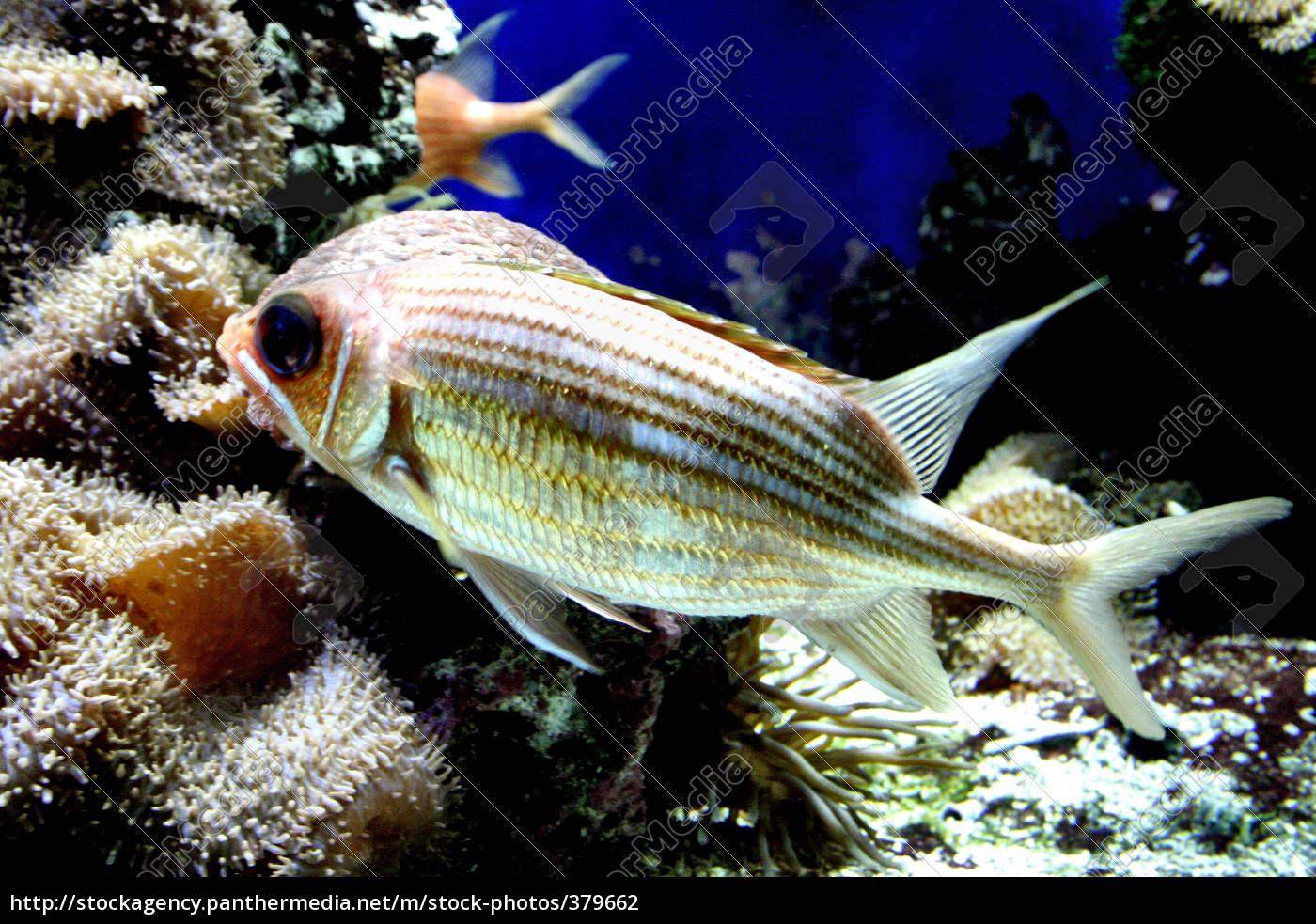 soldierfish - 379662