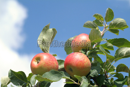 apples - 383492