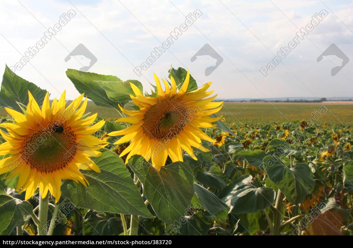 sunflower, field - 383720