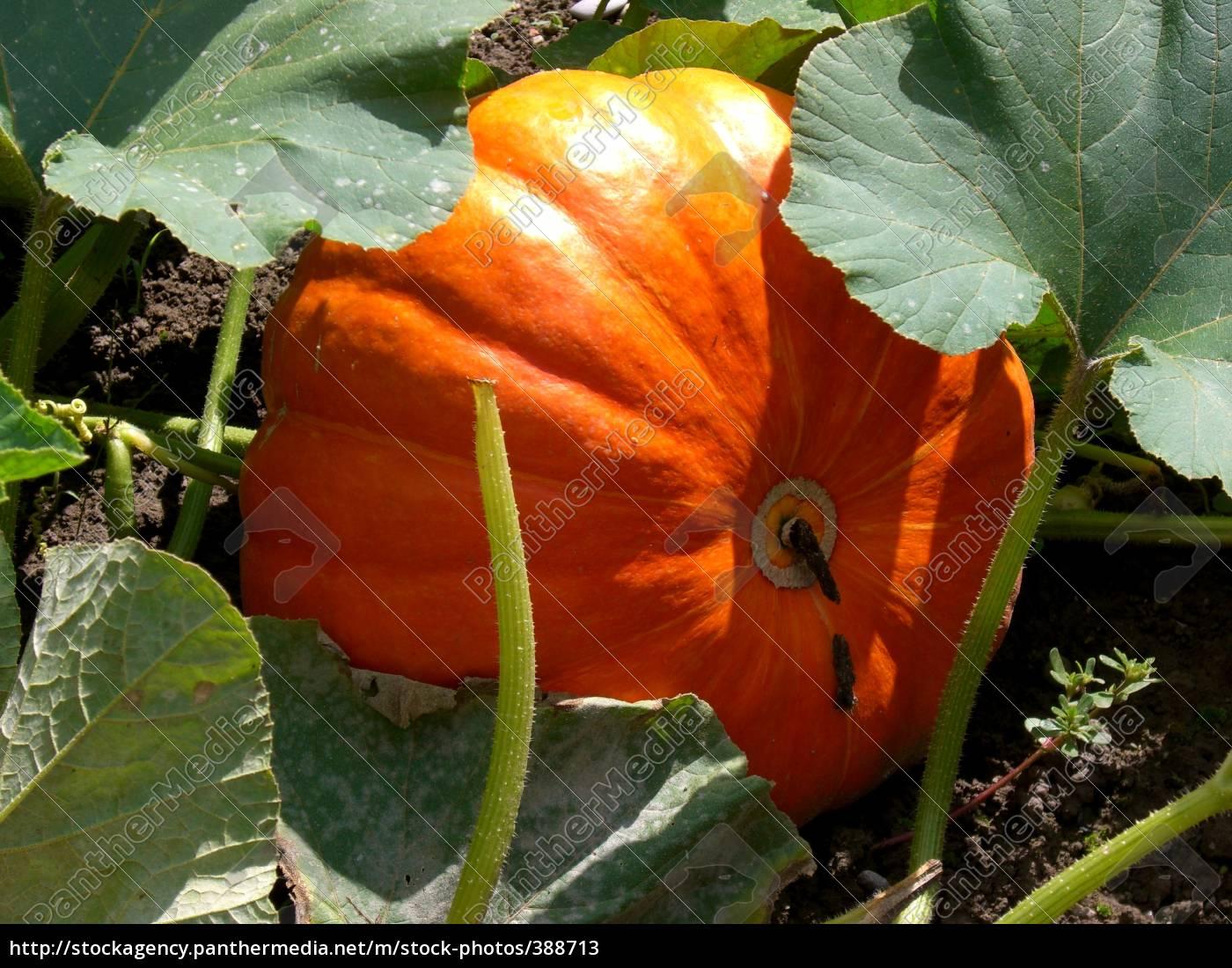pumpkin, 2 - 388713