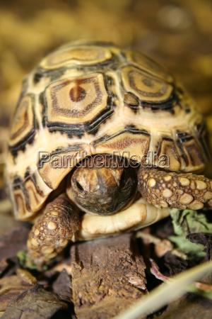 leopard, tortoise, biennially - 389981