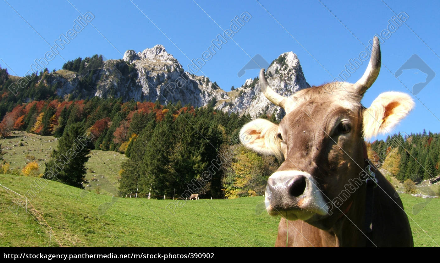 swiss, landscape, with, cow - 390902