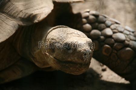 giant, tortoise - 394163