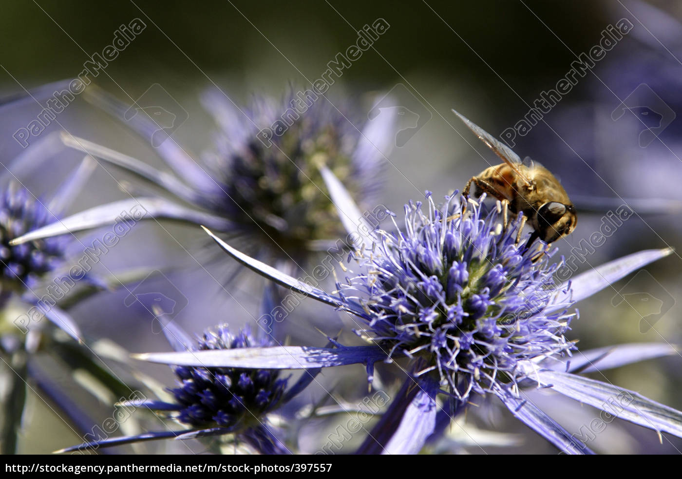bee, on, a, silver, thistle - 397557