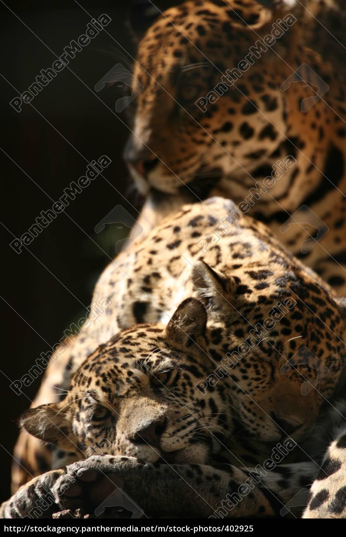 jaguar, family - 402925