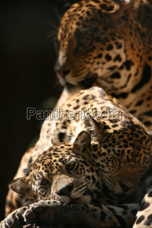 jaguar, family - 402925