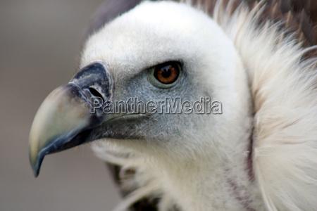 goose, vulture, 4 - 413459