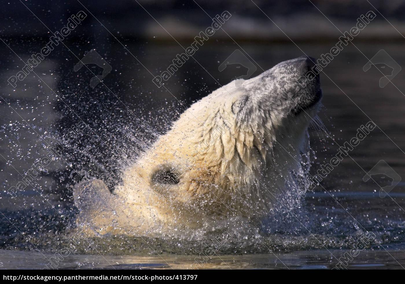 polar, bear, shakes - 413797