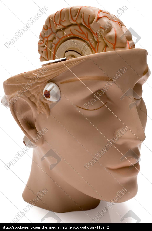 brain, model - 415942