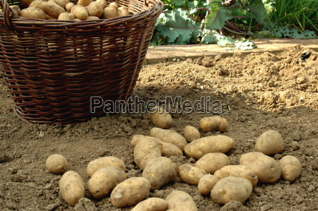 potato, harvest - 415344