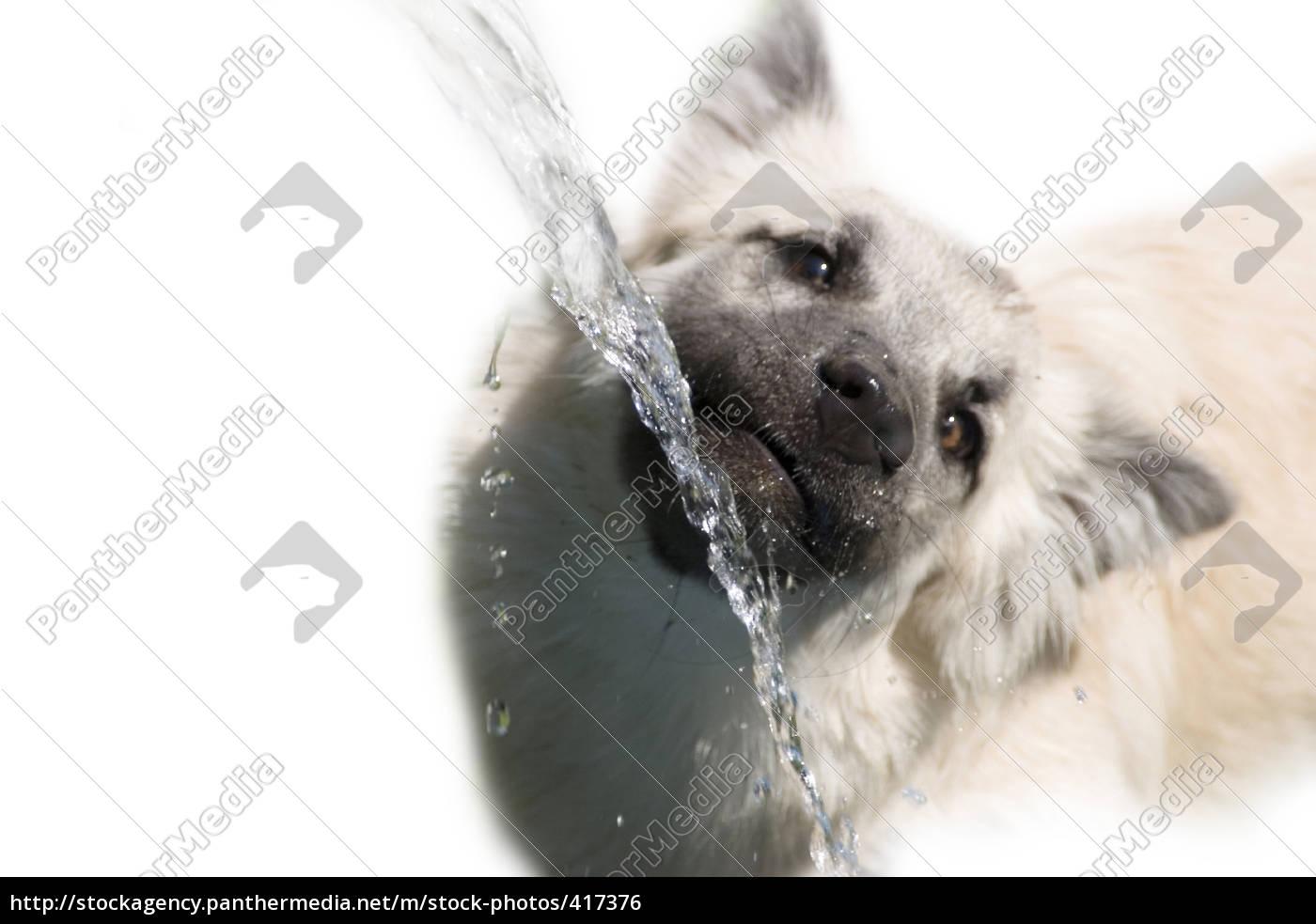 drinking, dog - 417376
