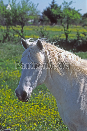 camargue horse camargue provence