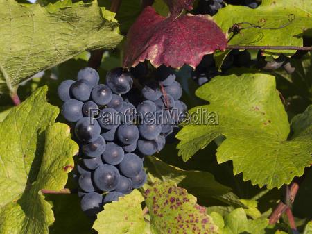 grapes - 421165