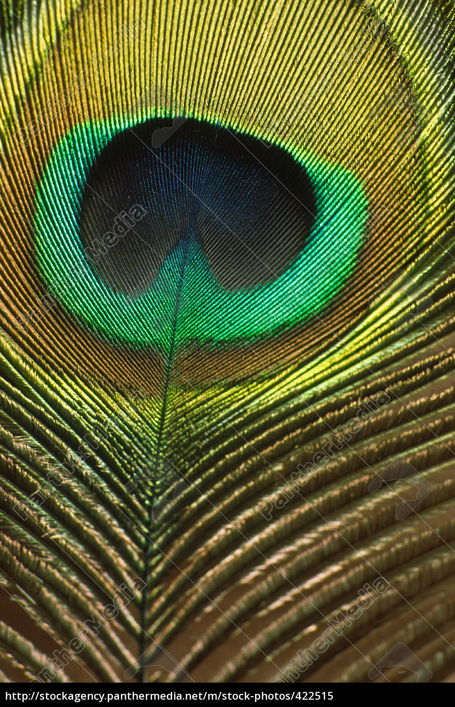 peacock, feather - 422515