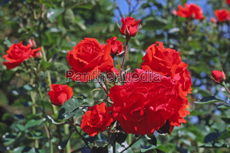 rosa variety bright shrub rose