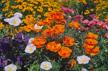 eschscholzia californica california poppy california poppy