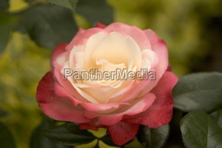rose, nostalgia - 427259