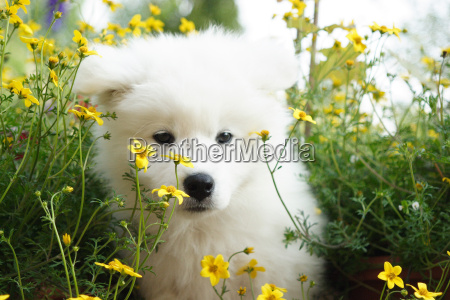 young playful samojedenwelpe