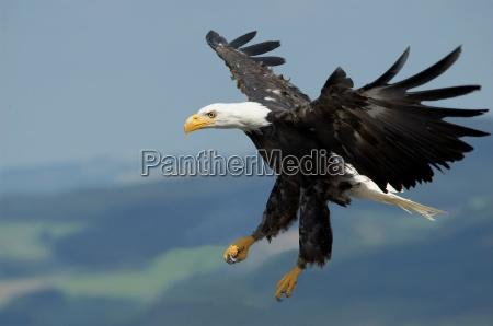 the, largest, bird, of, prey, vii - 431199