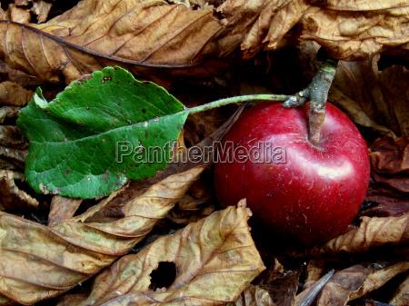 autumn, apple, in, the, foliage - 435187