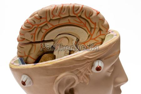 human, brain - 441051