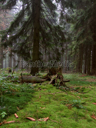 maerchenwald coniferous forest
