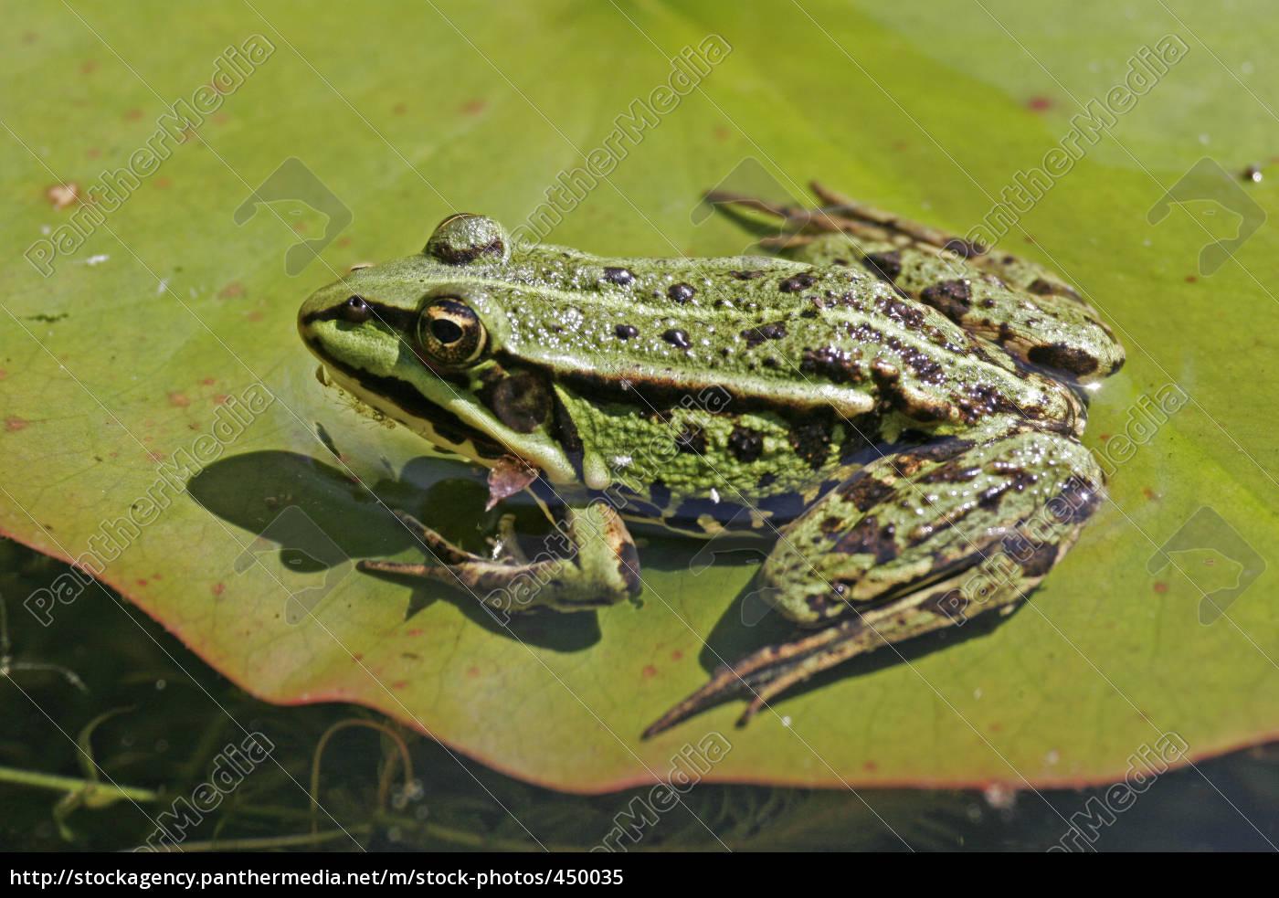 edible, frog, rana, esculenta - 450035