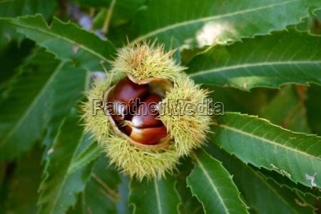 chestnuts - 451111