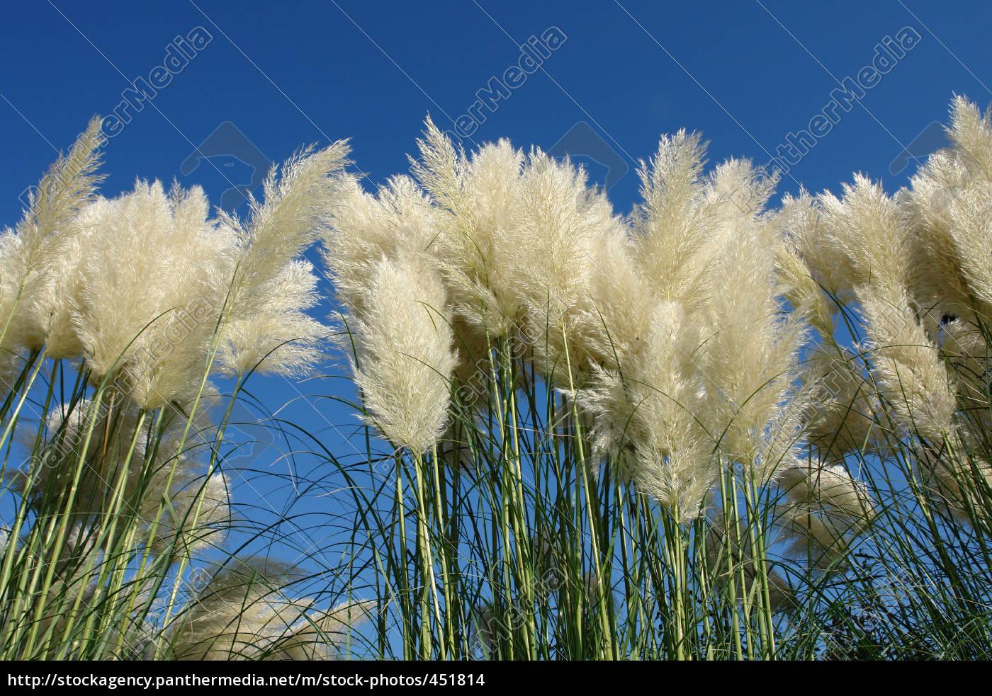 pampas, grass - 451814