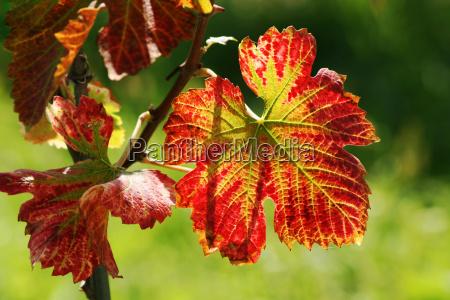 autumn, in, the, vineyard - 452611