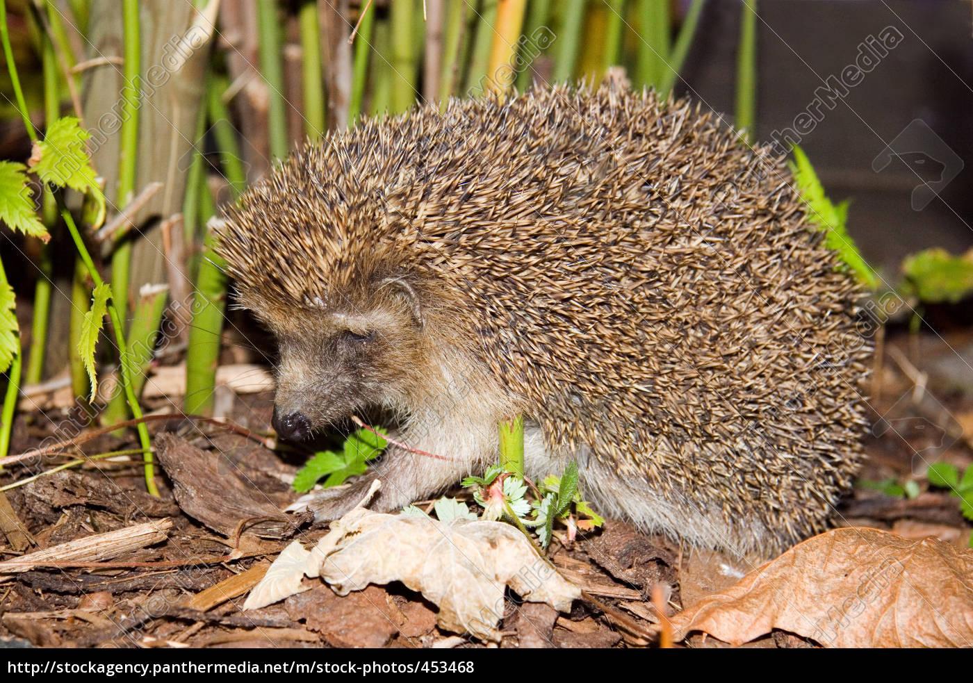 scheuer, hedgehog - 453468